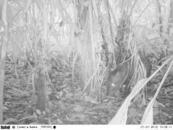 Camera trap image of a peccary at La Selva Biological Research Station, Costa Rica