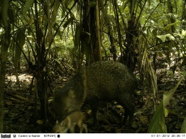 Camera trap image of a peccary and its infant at La Selva Biological Research Station, Costa Rica