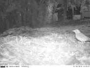 Camera trap image of an unidentified bird at La Selva Biological Research Station, Costa Rica