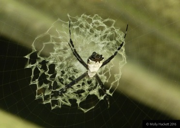 An unidentified spider and its web at La Selva Biological Research Station, Costa Rica
