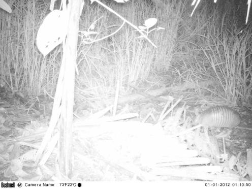 Camera trap image of a nine-banded armadillo at La Selva Biological Research Station, Costa Rica