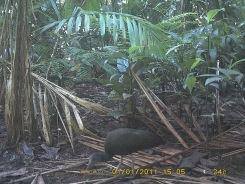 Camera trap image of a green ibis at La Selva Biological Research Station, Costa Rica